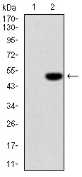 Western blot using IL1B monoclonal antibody against HEK293 (1) and IL1B-hIgGFc transfected HEK293 (2) cell lysate.
