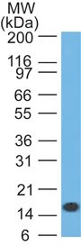 Western Blot: IL1 beta Antibody (43N4C4) - Analysis of IL-1beta in full-length recombinant protein using IL-1beta antibody at 3 ug/ml. Goat anti-mouse Ig HRP secondary antibody and PicoTect ECL substrate solution were used for this test.  This image was taken for the unconjugated form of this product. Other forms have not been tested.