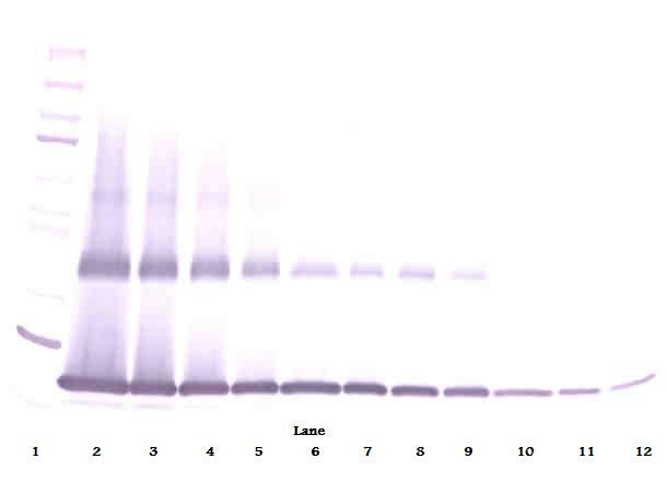 Western Blot (non-reducing) of IL1B / IL-1 Beta antibody. This image was taken for the unconjugated form of this product. Other forms have not been tested.
