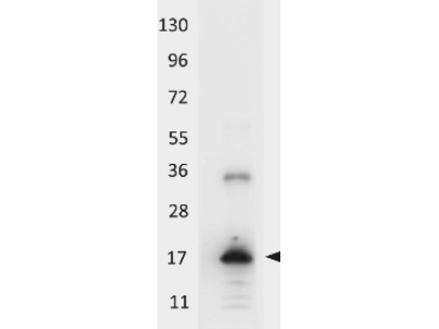 Anti-Human IL-33 Antibody - Western Blot. Western blot of HRP conjugated anti-Human IL-33 antibody shows detection of a band ~18 kD in size corresponding to recombinant human IL-33. The identity of the higher molecular weight band is unknown. Molecular weight markers are shown (left). After transfer, the membrane was blocked with 3% BSA in TBS followed by reaction with antibody at a 1:5000 dilution for 30 min at room temperature. Detection occurred using TMB substrate. This image was taken for the unconjugated form of this product. Other forms have not been tested.