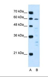 Lane A: Marker. Lane B: Jurkat cell lysate. Antibody concentration: 5.0 ug/ml. Gel concentration: 12%.  This image was taken for the unconjugated form of this product. Other forms have not been tested.