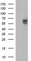 HEK293T cells were transfected with the pCMV6-ENTRY control (Left lane) or pCMV6-ENTRY IL10RA (Right lane) cDNA for 48 hrs and lysed. Equivalent amounts of cell lysates (5 ug per lane) were separated by SDS-PAGE and immunoblotted with anti-IL10RA. At a dilution of 1:4000.
