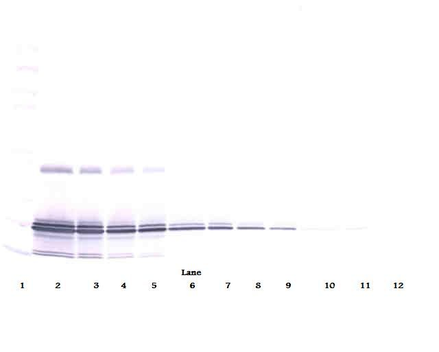 Western Blot (non-reducing) of IL-11 antibody LS-C104441