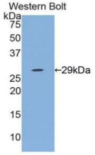 Western blot of recombinant IL12A / p35.  This image was taken for the unconjugated form of this product. Other forms have not been tested.