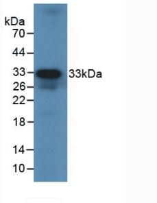 Western Blot; Sample: Recombinant IL12A, Human.