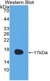 Western blot of recombinant IL13.