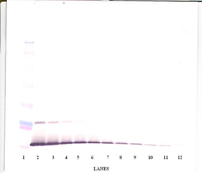 Anti-Human IL-13 Western Blot Unreduced