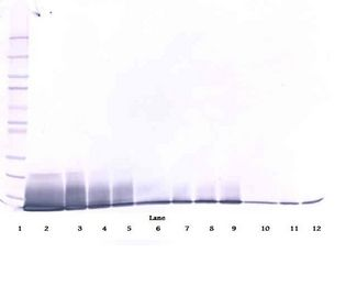 Western Blot (non-reducing) of IL-13 antibody LS-C104574.  This image was taken for the unconjugated form of this product. Other forms have not been tested.