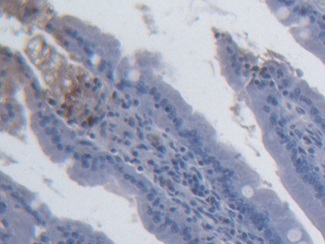 DAB staining on IHC-P; Samples: Rat Small intestine Tissue