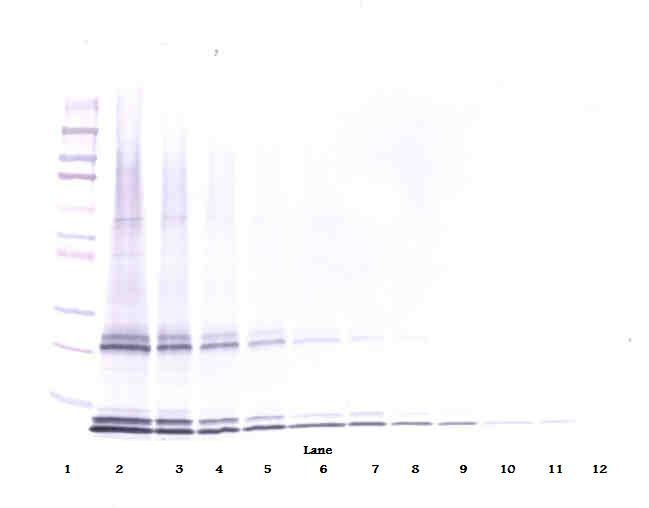 Western Blot (non-reducing) of IL-15 antibody LS-C104510.  This image was taken for the unconjugated form of this product. Other forms have not been tested.