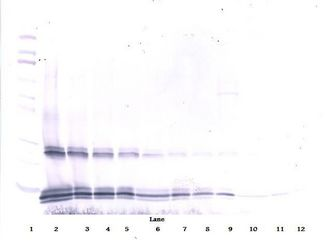 Western Blot (reducing) of IL-15 antibody LS-C104510.  This image was taken for the unconjugated form of this product. Other forms have not been tested.