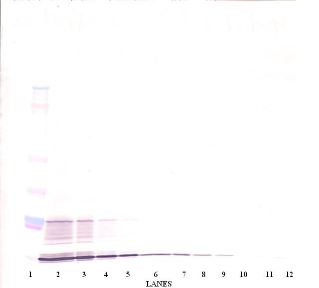Western Blot (non-reducing) of IL-15 antibody LS-C104325.  This image was taken for the unconjugated form of this product. Other forms have not been tested.