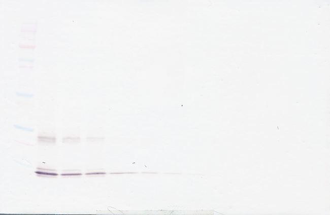Anti-Human IL-15 Western Blot Reduced