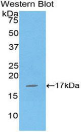 Western blot of recombinant IL16.  This image was taken for the unconjugated form of this product. Other forms have not been tested.