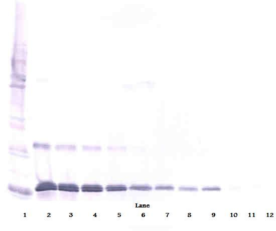 Western Blot (reducing) of IL-16 antibody LS-C104445.  This image was taken for the unconjugated form of this product. Other forms have not been tested.