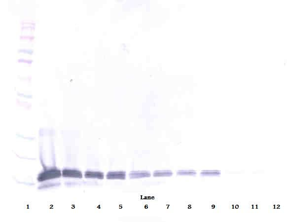 Western Blot (reducing) of IL-16 antibody. This image was taken for the unconjugated form of this product. Other forms have not been tested.