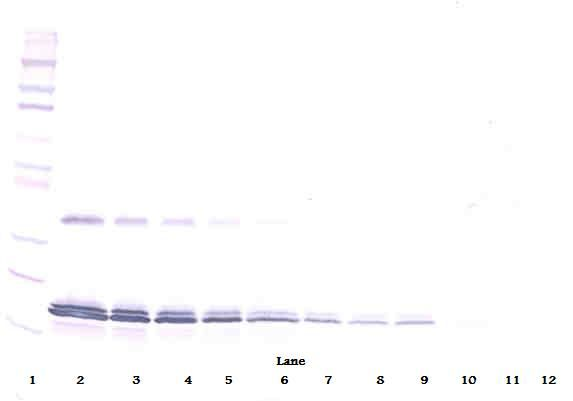 Western Blot (non-reducing) of IL-16 antibody. This image was taken for the unconjugated form of this product. Other forms have not been tested.