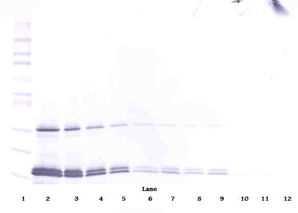 Western Blot (non-reducing) of IL-16 antibody LS-C104445.  This image was taken for the unconjugated form of this product. Other forms have not been tested.