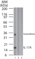 Western blot of IL-17A in 1) human, 2) mouse and 3) rat full-length recombinant IL-17A protein (100 ng/lane) using LS-B8323 at 0.2 ug/ml.