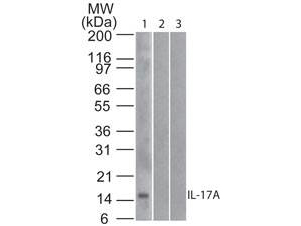 Western blot of Mouse Anti-IL-17A antibody Lane 1: human full length recombinant IL-17A protein Lane 2: mouse full length recombinant IL-17A protein Lane 3: rat full length recombinant IL-17A protein Load: 20 ng/lane Primary antibody: Anti-IL-17A antibody at 1 ug/mL for overnight at 4C This image was taken for the unconjugated form of this product. Other forms have not been tested.