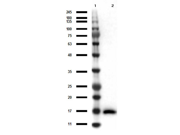 IL17A Antibody - Western Blot results of Mouse Anti-IL-17A Antibody. Lane 1: Opal Prestained Molecular Weight Ladder Lane 2: IL-17A. Load: 50ng. Primary Antibody: Mouse Anti-IL-17A at 1µg/mL overnight at 4°C. Secondary Antibody: Rabbit anti-Mouse HRP at 1:40,000 for 30min at RT. Blocking: BlockOut for 30 min at RT.