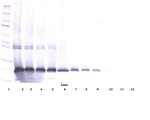 Anti-Human IL-17D Western Blot Reduced