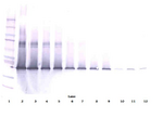 Anti-Human IL-17D Western Blot Unreduced