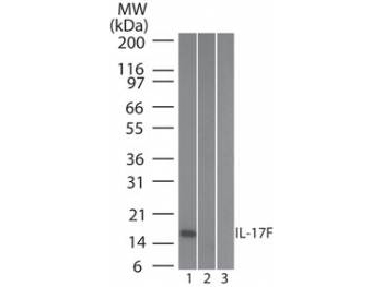 IL17F Antibody - Western Blot of Mouse Anti-IL-17F antibody. Lane 1: human full length recombinant IL-17F protein. Lane 2: mouse full length recombinant IL-17F protein. Lane 3: rat full length recombinant IL-17F protein. Load: 20 ng/lane. Primary antibody: Anti-IL-17F antibody at 0.2ug/mL for overnight at 4°C.