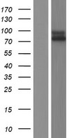 IL17RC Protein - Western validation with an anti-DDK antibody * L: Control HEK293 lysate R: Over-expression lysate