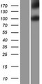IL17RD Protein - Western validation with an anti-DDK antibody * L: Control HEK293 lysate R: Over-expression lysate