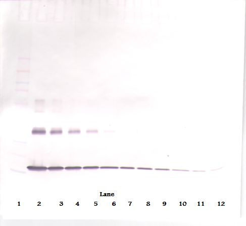 Western Blot (non-reducing) of IL1A / IL1 Alpha antibody. This image was taken for the unconjugated form of this product. Other forms have not been tested.