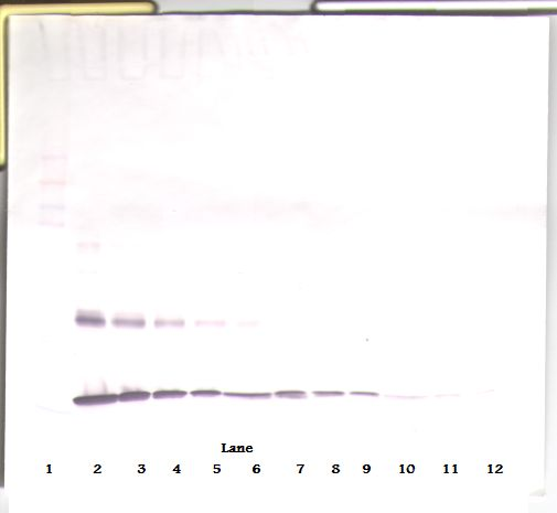 Western Blot (reducing) of IL1A / IL1 Alpha antibody. This image was taken for the unconjugated form of this product. Other forms have not been tested.