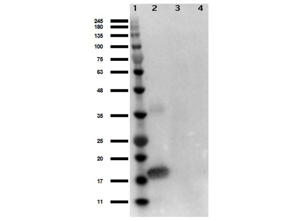 IL1A / IL-1 Alpha Antibody - Western Blot of rabbit Anti-Human IL-1 alpha Antibody. Lane 1: Opal Prestained Molecular Weight Ladder Lane 2: IL-1 alpha 50ng. Lane 3: MEF WC lysate 10ng. Lane 4: MEF LPS stimulated 10ng. Blocking: BlockOut Buffer for 30min at RT. Primary Antibody: Anti-IL-1a 1µg/mL overnight at 4°C. Secondary Antibody: Goat anti-Rabbit HRP at 1:70, 000) for 30min at RT.