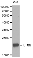 Western blot of extracts of 293 cell lines, using IL1RN antibody.