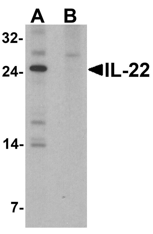 Western blot analysis of IL-22 in HeLa cell lysate with IL-22 antibody at 1 ug/ml in (A) the absence and (B) the presence of blocking peptide.