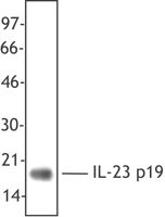 Linker-free, recombinant human IL-23 was resolved by electrophoresis, transferred to nitrocellulose and probed with the anti-IL23 p19 specific antibody HLT2736 antibody. Proteins were visualized using a goat anti-mouse secondary conjugated to HRP and a ch.
