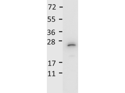 Anti-Mouse IL-27/p28 Antibody - Western Blot. Detection of recombinant IL27/p28 protein by anti-Mouse IL-27/p28 antibody. Recombinant mouse IL27/p28 was loaded on to an SDS-PAGE gel at 0.25 ug and after separation, transferred to nitrocellulose. The membrane was blocked with 1% BSA in TBST for 30 min at RT, followed by incubation with primary antibody diluted 1:1000 in 1% BSA in TBST overnight at 4°C. After washes, the blot was reacted with secondary antibody HRP Goat anti-Rabbit IgG antibody diluted 1:40000 in blocking buffer (MB-070) for 30 min at RT. Data was collected using Bio-Rad VersaDoc 4000 MP imaging system.