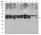 Western blot using IL2RA mouse monoclonal antibody against HeLa (1), MOLT4 (2), HEK293 (3), A549 (4), Jurkat (5), K562 (6), Cos7 (7), PC-12 (8) and NIH/3T3 (9) cell lysate.