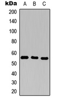 Western blot analysis of CD25 expression in THP1 (A); H9C2 (B); Raw264.7 (C) whole cell lysates.