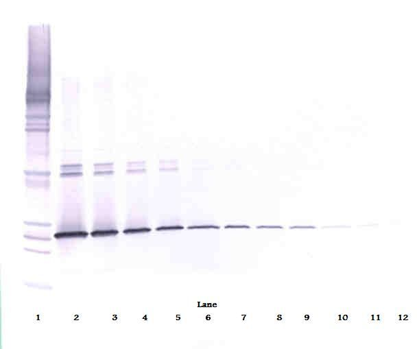 Western Blot (non-reducing) of IL-5 antibody LS-C104699.  This image was taken for the unconjugated form of this product. Other forms have not been tested.