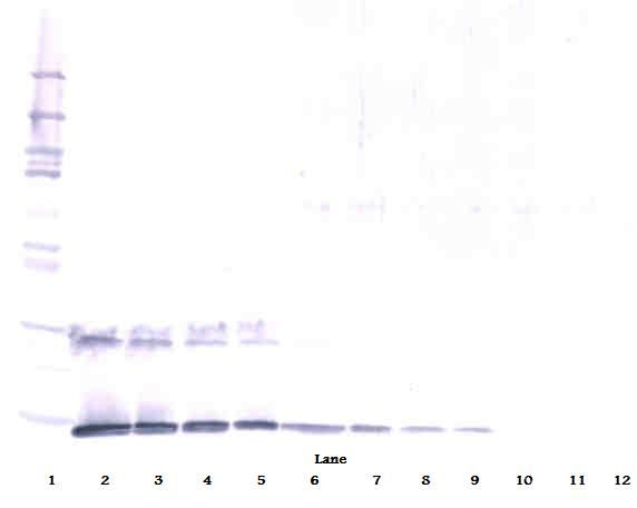Western Blot (reducing) of IL-5 antibody LS-C104699.  This image was taken for the unconjugated form of this product. Other forms have not been tested.