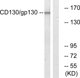 IL6ST / CD130 / gp130 Antibody - Western blot analysis of lysates from Jurkat cells, using CD130/gp130 Antibody. The lane on the right is blocked with the synthesized peptide.
