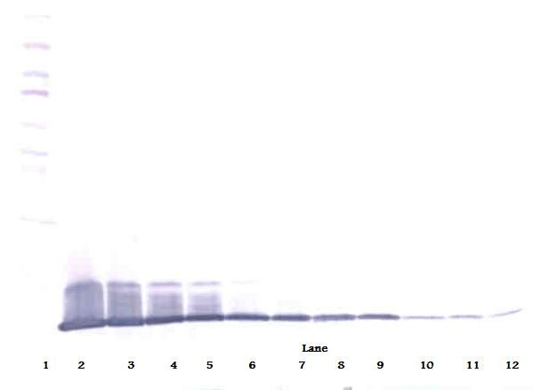 Western Blot (reducing) of IL-8 antibody LS-C104558.  This image was taken for the unconjugated form of this product. Other forms have not been tested.