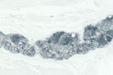 Colon: PGP 9.5 (m), ImmPRESS™ Anti-Mouse Ig Kit, ImmPACT™ SG (blue-gray) substrate.