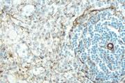 Rat Spleen: Desmin (m), ImmPRESS™ Anti-Mouse Ig Kit (Rat Adsorbed), DAB (brown) Substrate Kit. Hematoxylin QS (blue) counterstain.