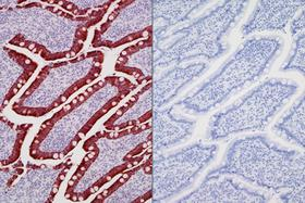 Product - Left: Dog intestine stained with mouse antibody against multi-cytokeratin and detected with ImmPRESS™ VR HRP Anti-Mouse IgG and Vector® NovaRED® Substrate. Counterstained with Vector® Hematoxylin QS. Right: No mouse primary antibody negative control section displaying no background.