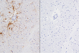 Left: Cat brain stained with mouse antibody against GFAP and detected with ImmPRESS™ VR HRP Anti-Mosue IgG and ImmPACT™ DAB Substrate. Counterstainedwith Vector® Hematoxylin QS. Right: No mouse primary antibody negative control section displaying no background.