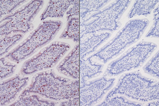 Left: Dog intestine stained with rabbit antibody against Ki67 and detected with ImmPRESS™ VR HRP Anti-Rabbit IgG and Vector® NovaRED® Substrate. Counterstained with Hematoxylin QS. Right. No primary antibody negative control section displaying no background.