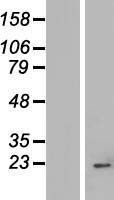 IMP3 Protein - Western validation with an anti-DDK antibody * L: Control HEK293 lysate R: Over-expression lysate