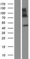 IMPAD1 Protein - Western validation with an anti-DDK antibody * L: Control HEK293 lysate R: Over-expression lysate